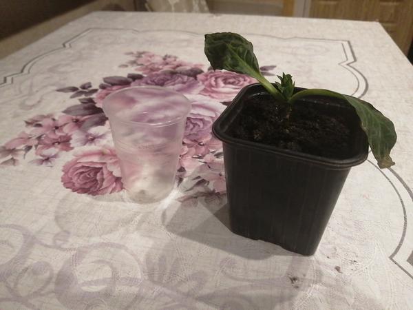 После пересадки гортензии в новый стакан листья пожухли. Что делать дальше?
