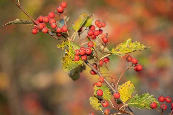Как называется кустарник с красными плодами?