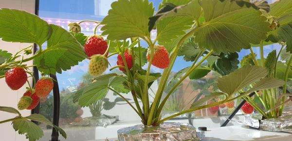 Почему клубника, выращиваемая на гидропонике, перестала плодоносить?