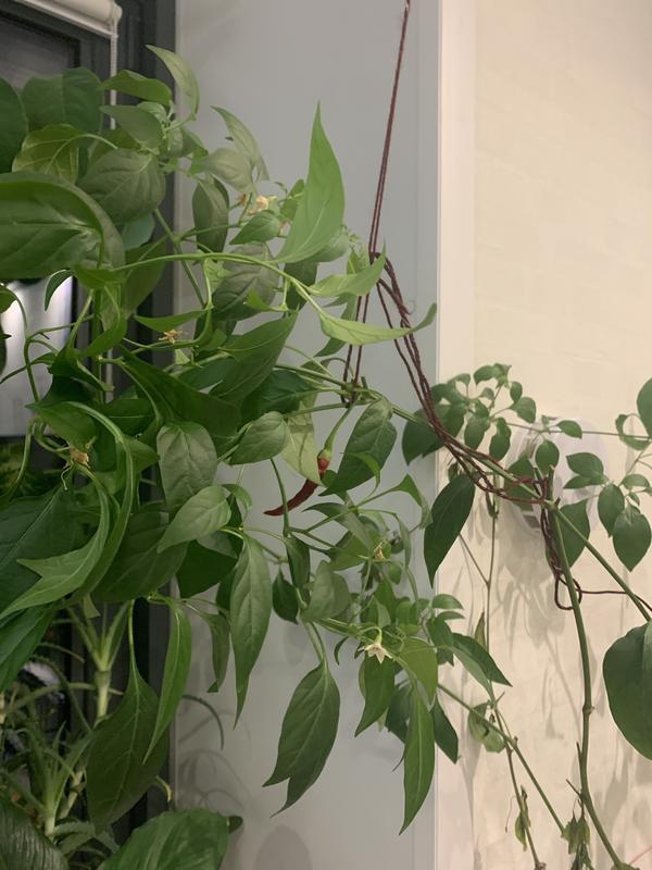Почему высохли нижние листья у перца? Как его спасти?