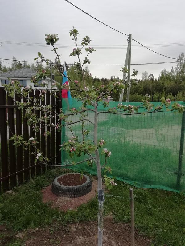 Борьба с камедью деревьев: как спасти плодовый сад?