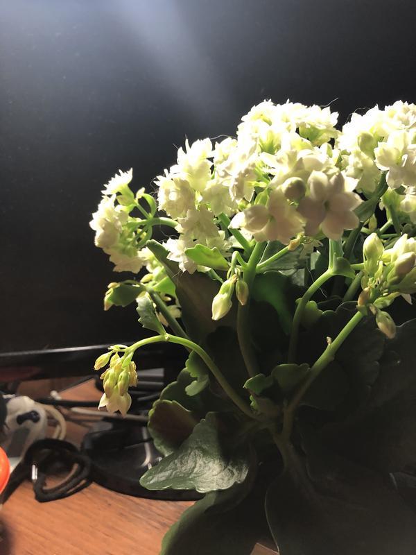 У каланхоэ вянут и сохнут бутоны, листья желтые и мягкие. Как помочь растению?