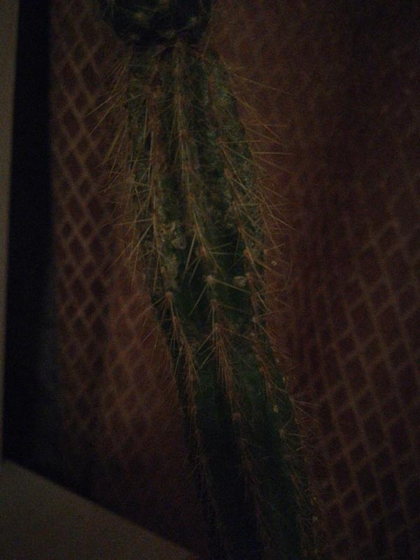 За кактусом долго не ухаживали, с тех пор на нем появился  какой-то блестящий налёт. Как вылечить растение?