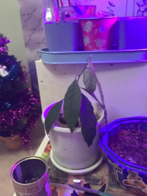 Авокадо пожух, все листья опустились вниз. Как помочь растению?