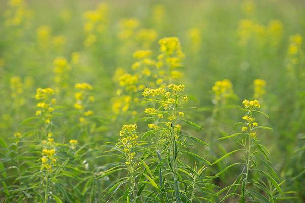 Цветущее растение; август.