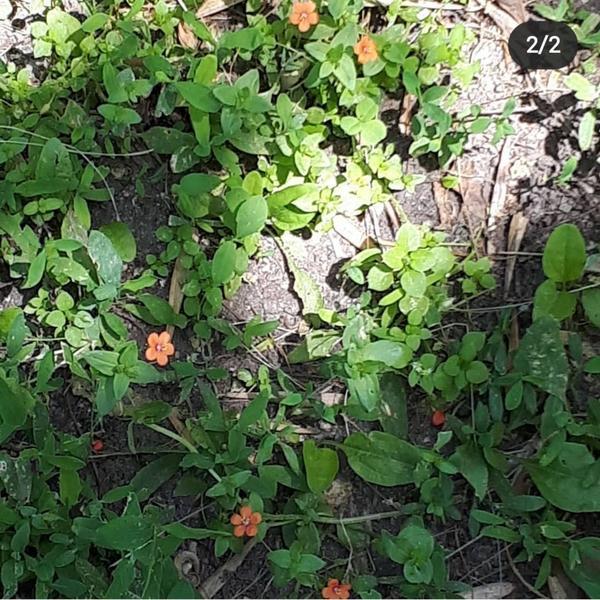 Как называется это растение? Он почвопокровник?
