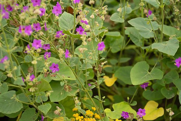 Цветущее растение с листиками. Фотография сделана в конце июля