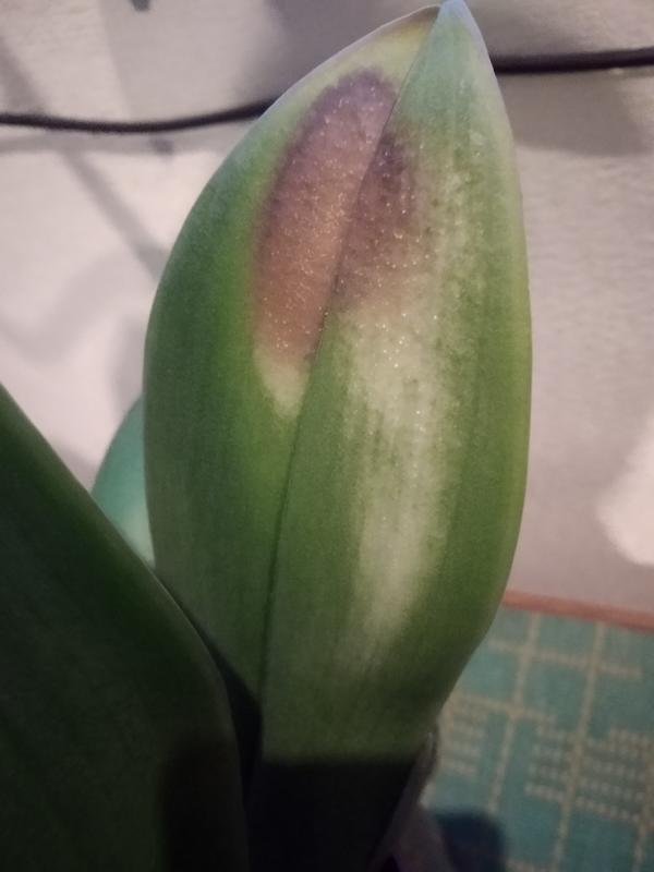 Подскажите что это за пятна и как помочь орхидее фаленопсис?