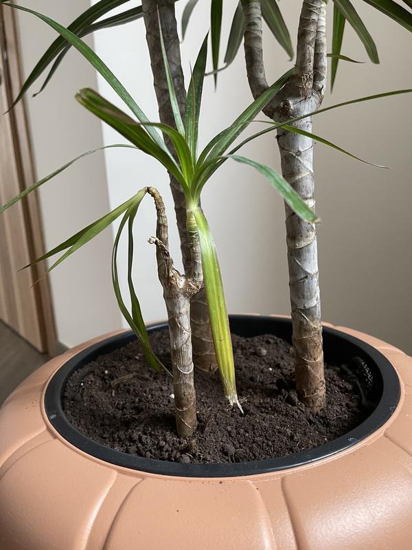 Поочередно у мелкого отростка слабеют, опускаются и отпадают листья.. затем стволик мягчает и ссыхается... при этом из центра появляются свежие листья, но и они захватываются процессом отмирания