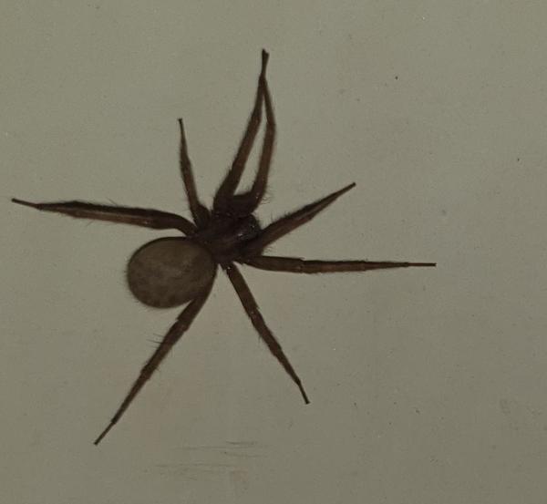 Здравствуйте. Вчера в своей ванной,моя подруга обнаружила это чуда. В пауках мы не разбираемся. Она его поймала и выбросила,а мне стало интересно,что это за паук? Не рисковала ли она жизнь когда его ловила в пакет? Говорит он большой был,пушистый. Наверное у кого то сбежал. У меня арахонобия,я бы наверное умерла при виде такого.Подскадите пожалуйста,что это за паук?