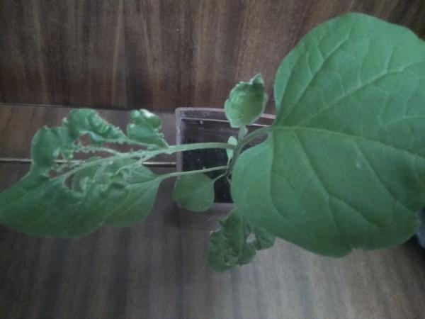 На рассаде баклажана болезнь или вредитель? Как помочь растению?