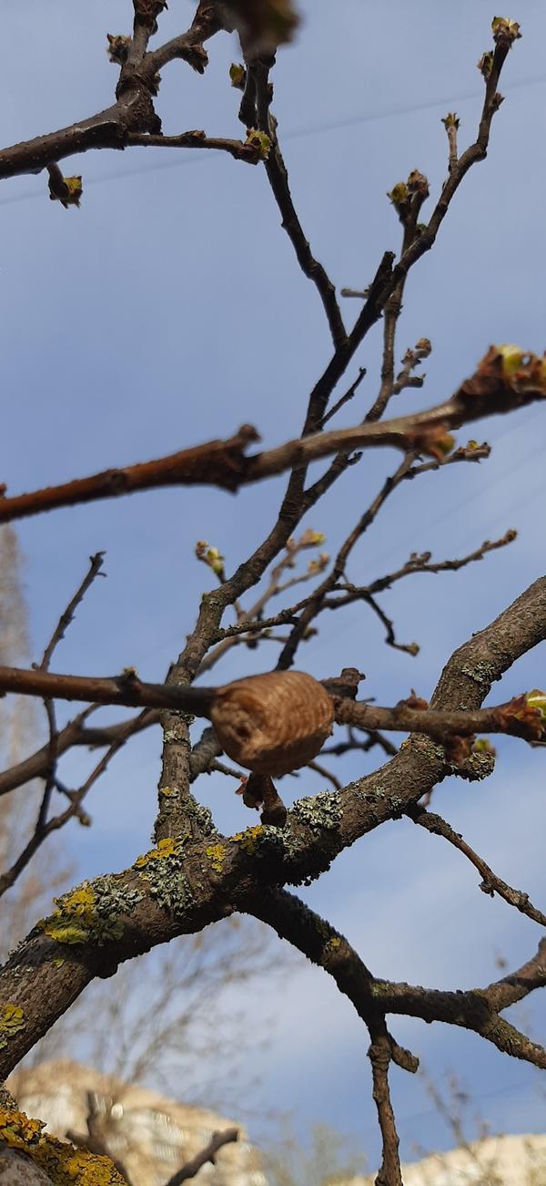 Необычный нарост на дереве. Это кокон насекомого?