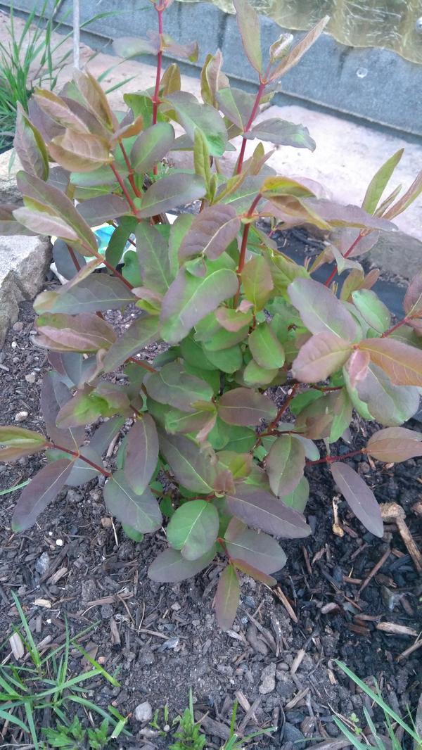 Чем заболела жимолость? Почему листья распустились зелеными, а некоторые с красновато-коричневой окраской?