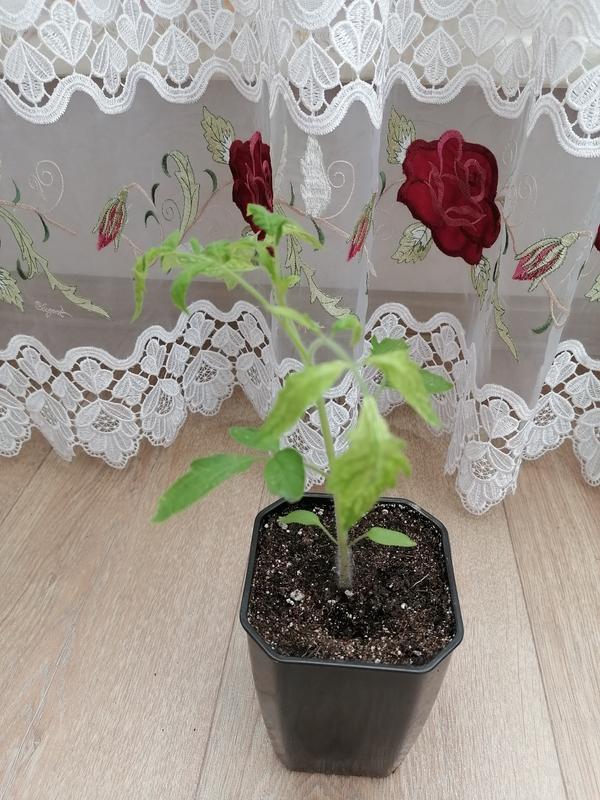 Почему рассада томатов почти не развивается, листья мелкие и закручиваются, верхние желтеют, на некоторых пятна?