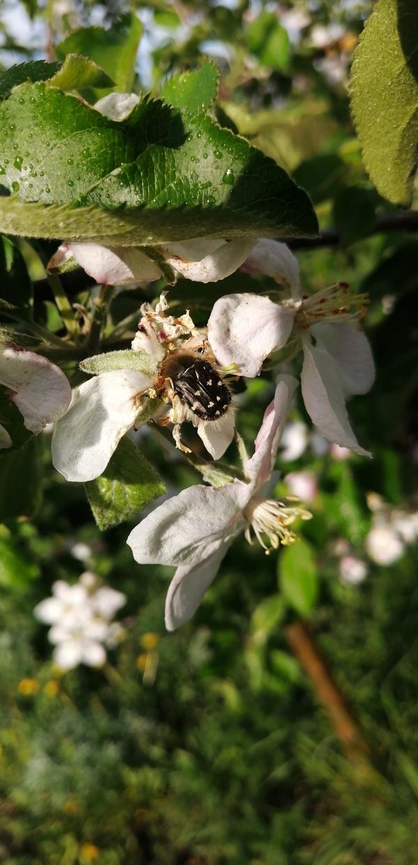 Какие насекомые поедают цветы на яблоне?