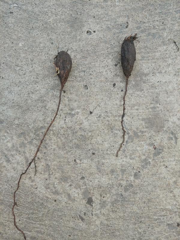 Какой это сорняк? Прошу помочь определить по описанию и фото!