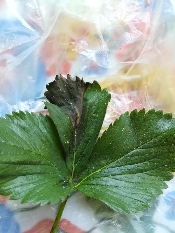 На листьях земляники появились постепенно засыхающие темно-коричневые пятна. Чем болеет земляника, как ей помочь?
