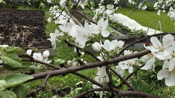 Почему половина яблони цветет нормально, а половина без листьев, цветочки не распускаются, а распущенные ржавеют?