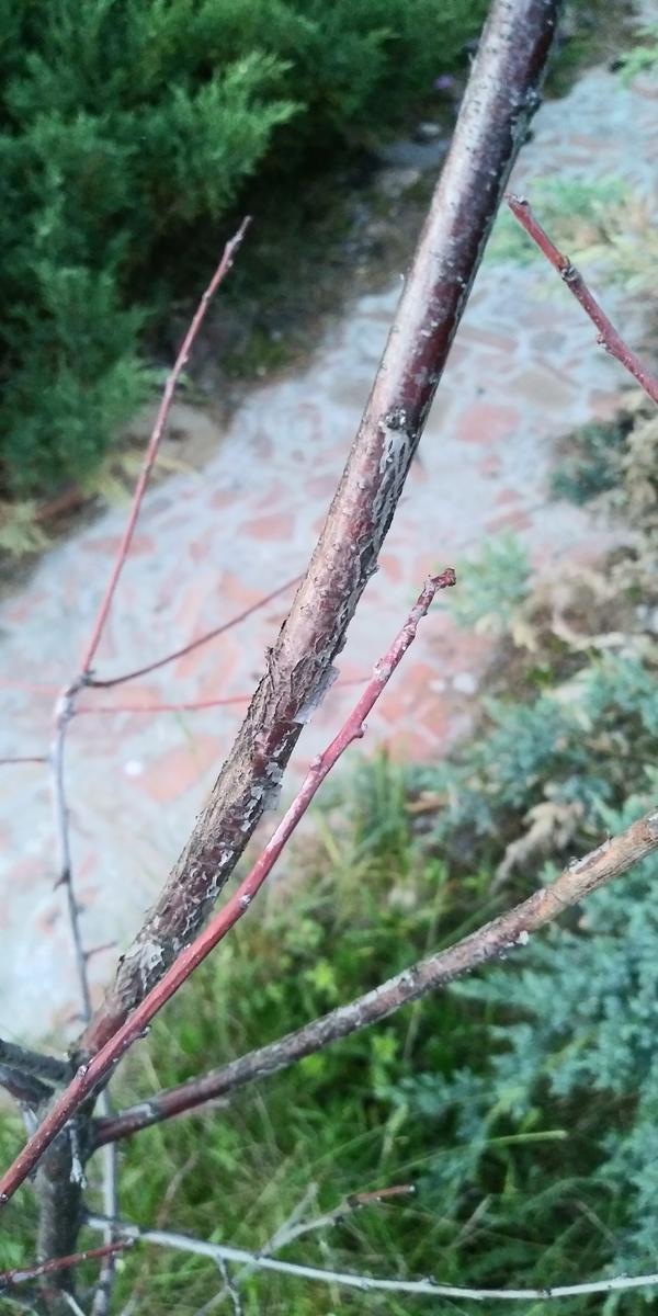 Слива не выпустила ни одного листика, а цветочные почки едва появляются и тут же пропадают. Что со сливой и как ее спасти?