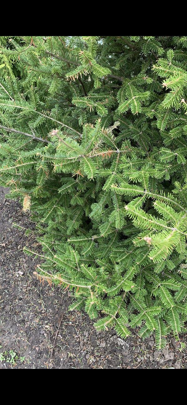 Сохнет и буреет можжевельник, на пихте появились рыжие иголки. Как помочь растениям?
