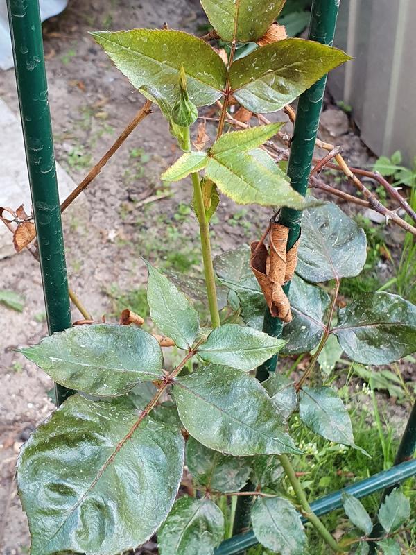 Почему деформируются ветви и листья вьющейся розы?