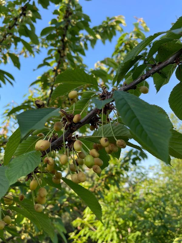 Почему появились проблемы с плодами черешни? Какое это заболевание? Чем лечить?