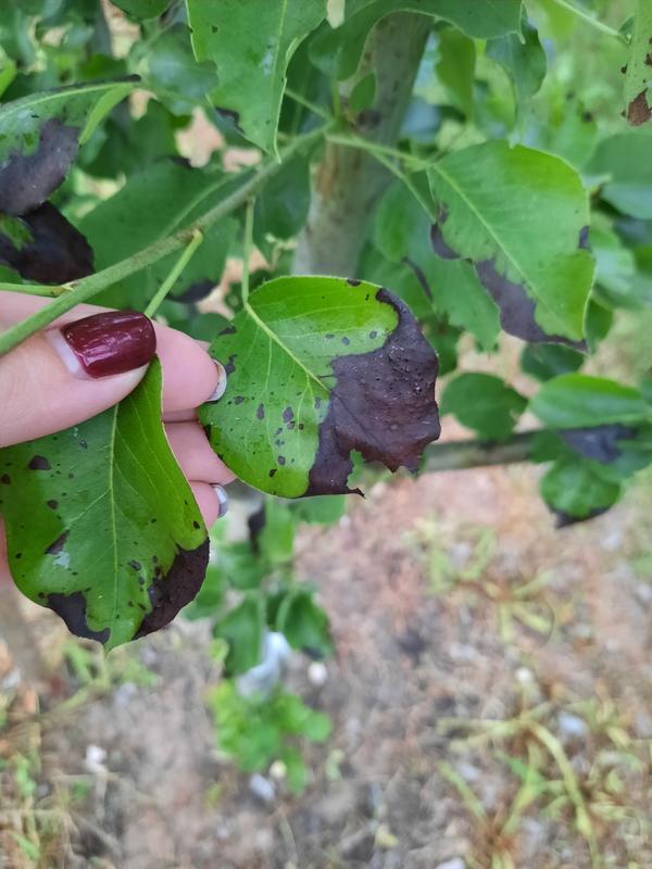 После обработки мочевиной почернели листья на груше, яблоне и вишне. Что делать?