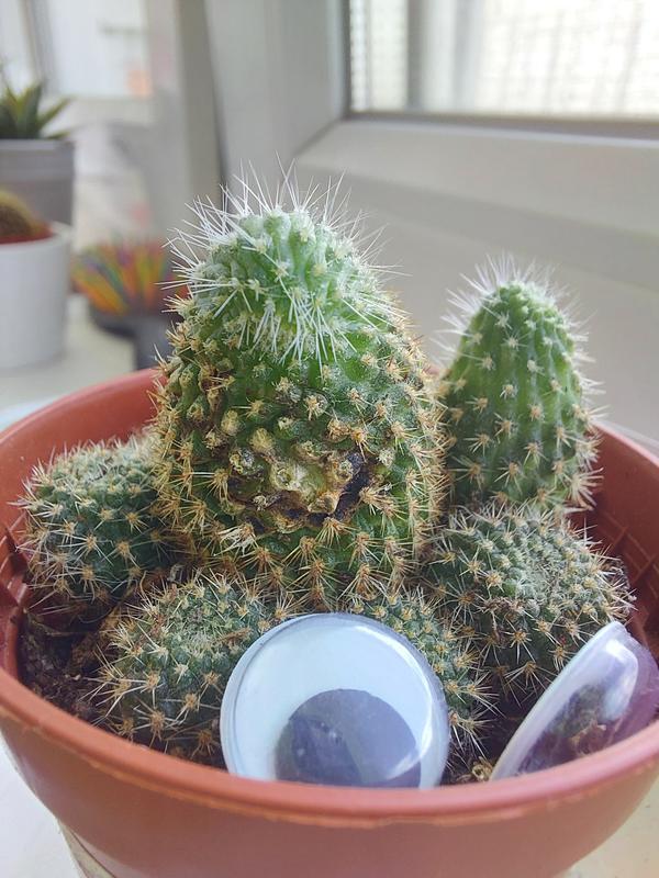 На кактусе появились черные пятна. Что это может быть и что сделать, чтобы кактус не болел?