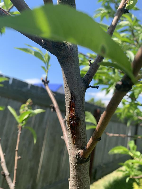 Почему у персика листья стали мельче, их стало меньше, выступила смола?