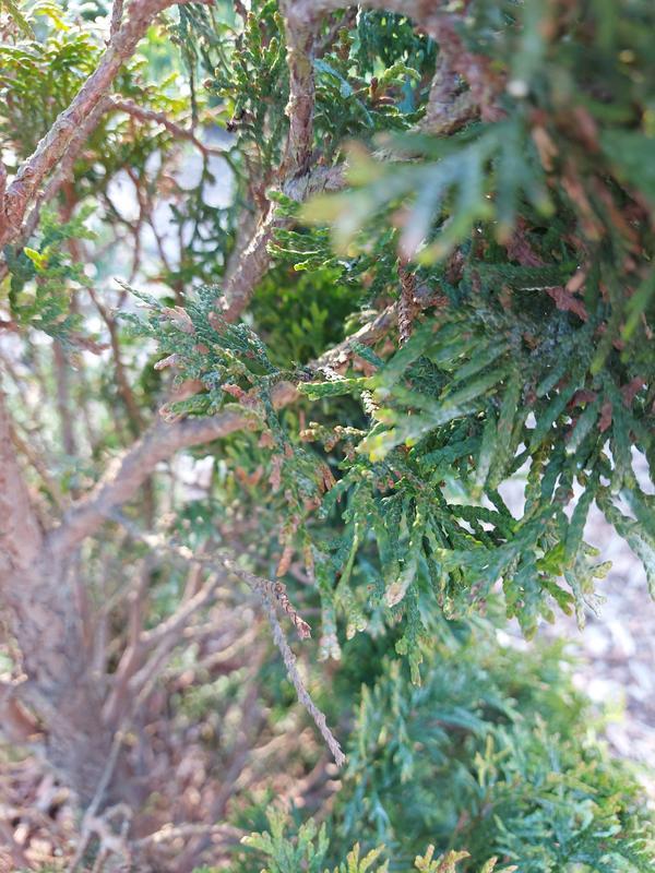 У туи сохнут веточки, прирост есть небольшой, но тут же засыхает. Можно ли спасти дерево или лучше выкорчевать?