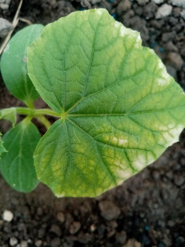 Почему на листьях огурцов появились пятнышки?