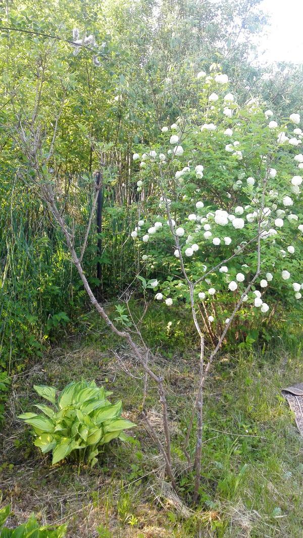 Куст чубушника