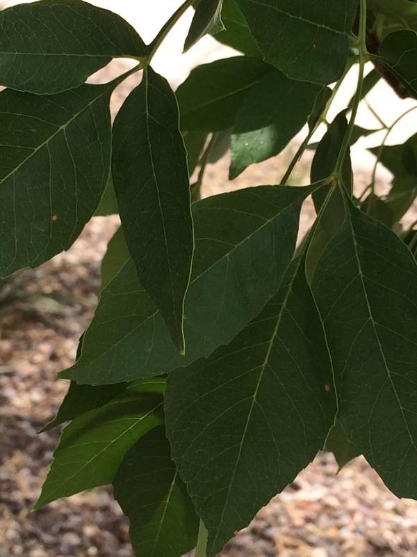 Листья моего неизвестного дерева.