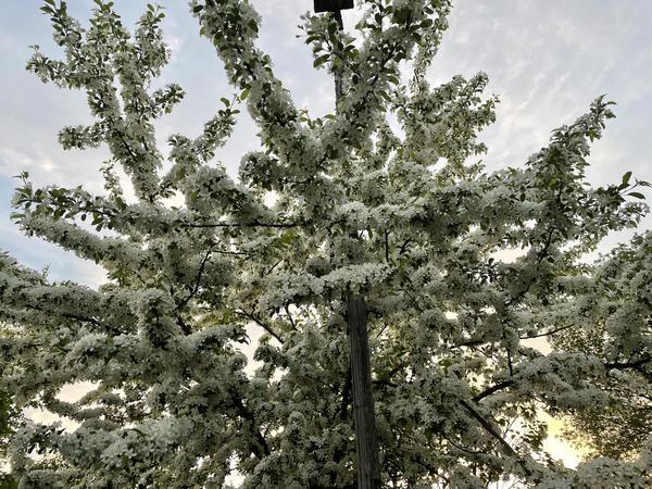 Цветущее декоративное дерево или высокий кустарник