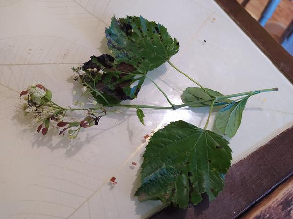 Листья, цветы, семена