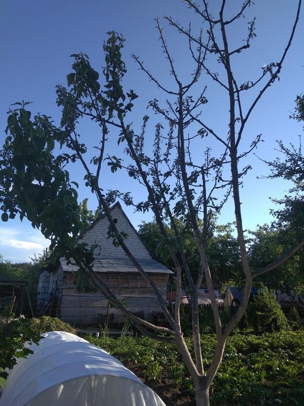 Весной как обычно распускались, а потом начала засыхать часть дерева . Чем можно помочь?