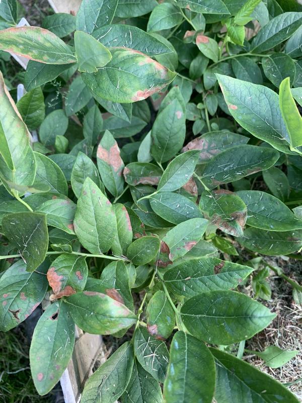 Листья голубики покрылись пятнами и сохнут. Что делать?