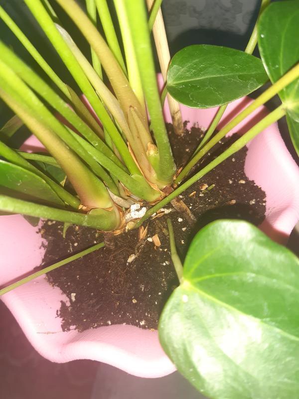 Желтеют листья антуриума. Как его вылечить?