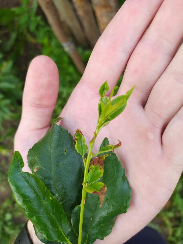 На нескольких вишнях появились коричневые пятна по краям листьев. Какая это болезнь?