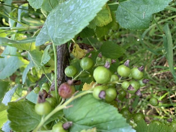 Некоторые ягоды в кисти смородины гниют прямо на ветках. Что делать?
