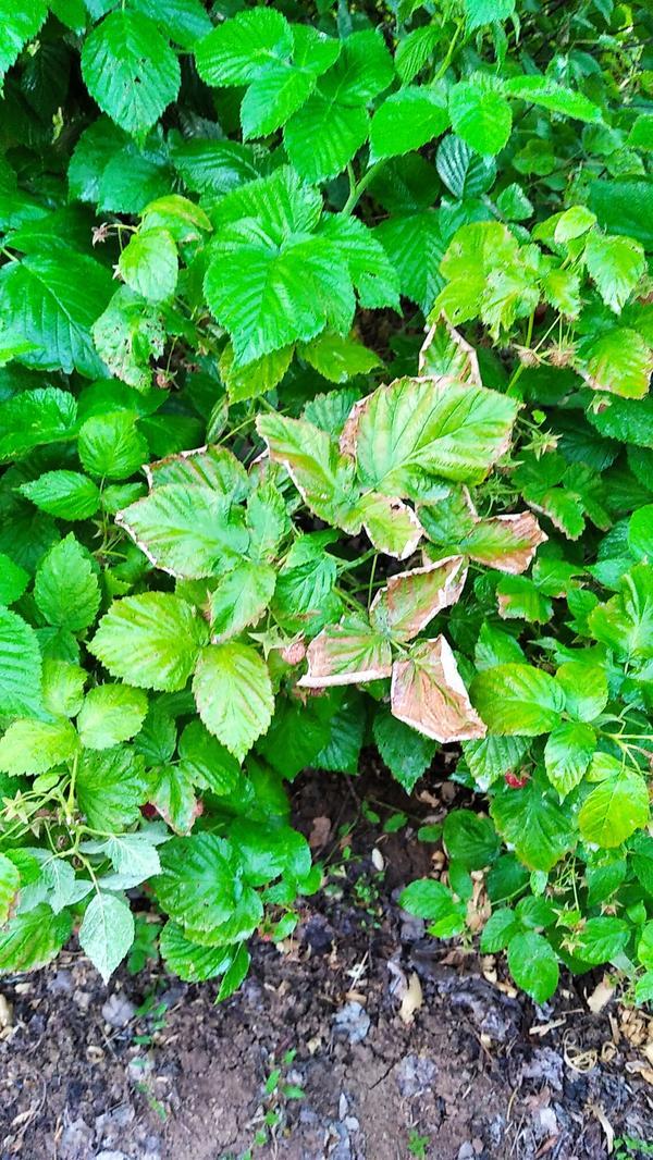Засыхают листья у малины. Что могло стать причиной?