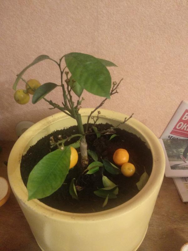 Мандарин стал сбрасывать листья и плоды, часть веток стала коричневого цвета. Что делать?