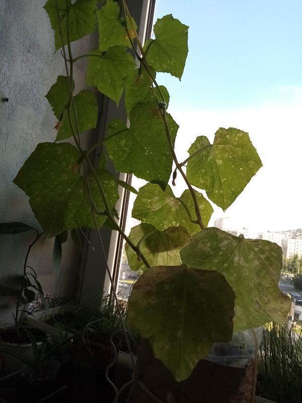 Листья балконных огурцов чем-то поражены. Как их вылечить?