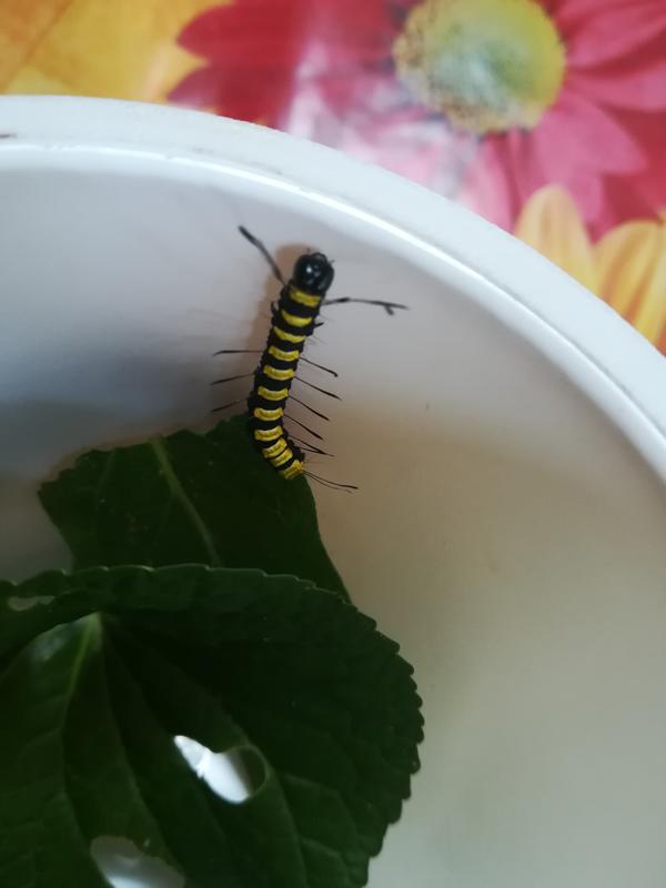 Подскажите, что это за чёрно-жёлтая гусеница?