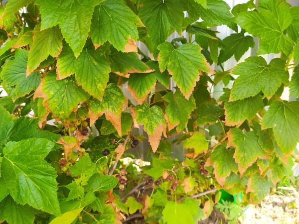 У чёрной смородины резко стали сохнуть листья по краям. Что это может быть? И что делать?