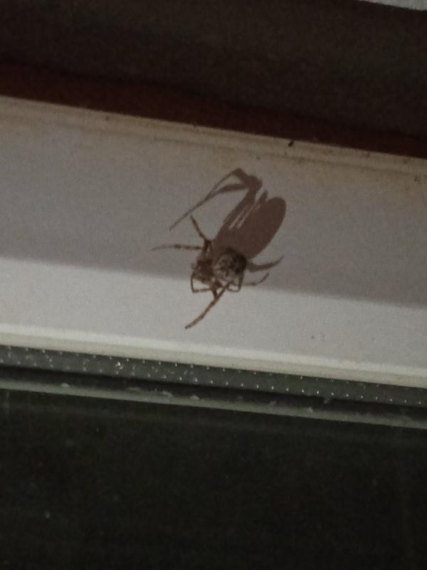 Что за паук вышел покурить, а там это чудо опасен ли он? По брюшку вроде самка