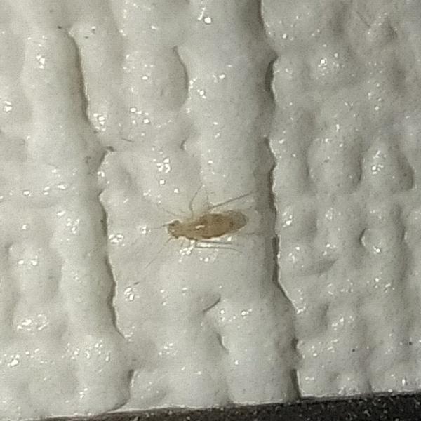 Эти жучки обнаружены сегодня, под ковролином, вдоль плинтусов по всей комнате. При свете убегают под плинтус.
