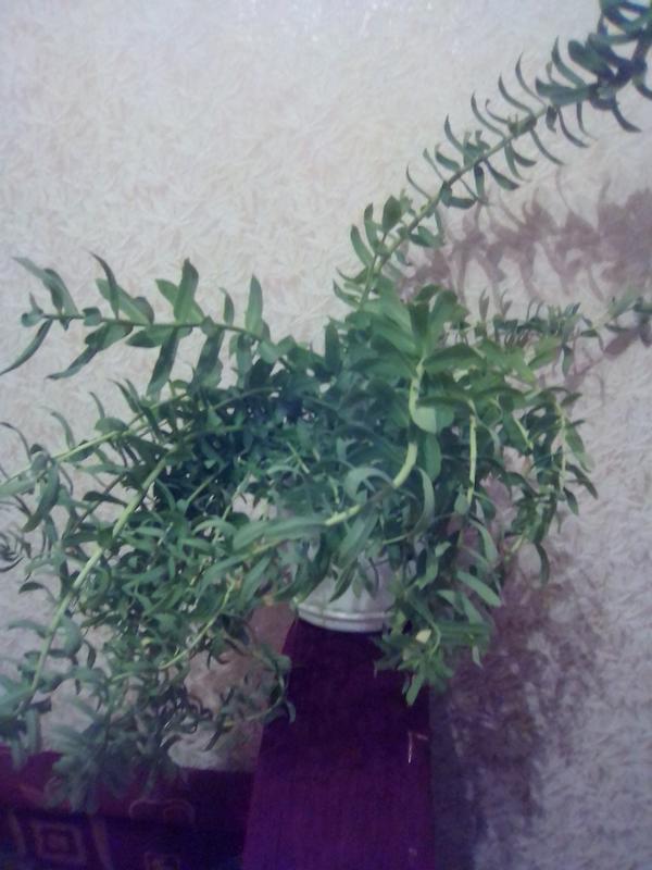 Что за растение? Домашнее или садовое?
