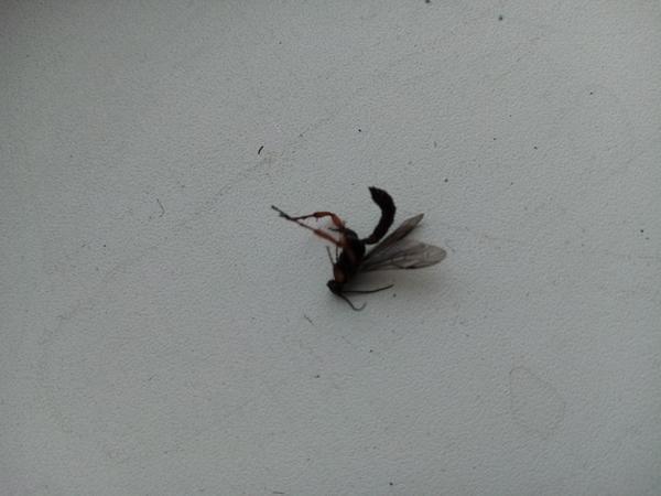 Впервые вижу такое насекомое,довольно живучие, с одного раза не прибьешь. Появились в частном деревянном доме