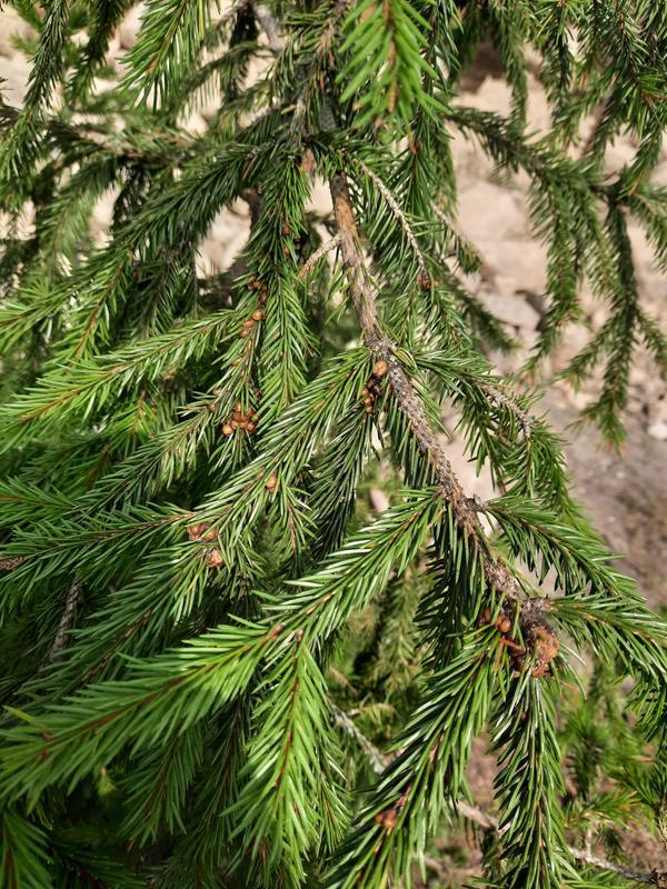 Коричневые 'почки' на елке